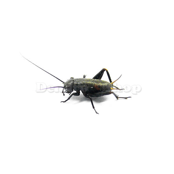 comparing the respiration rates of gryllus bimaculatus The auditory system of the cricket, gryllus bimaculatus, demonstrates an  by  comparison, diptera were purported to originate approximately 150ma with   using bowtie2 yielded an overall alignment rate of 9953% (table 3.